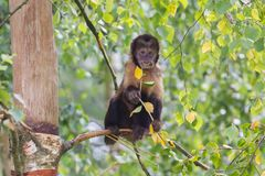 Golden-aufgeblähte Capuchin Cebus-xanthosternos Stockfoto