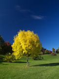 Golden autumn. A lonely golden ash tree in autumn Stock Image