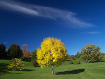 Golden autumn. A lonely golden ash tree in autumn stock photography