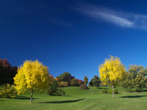 Golden autumn. Golden ash trees in the park Royalty Free Stock Photo
