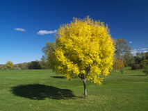 Golden autumn. Beautiful golden ash tree in the park Royalty Free Stock Photography