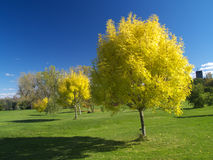 Golden autumn. Golden ash trees in the park Stock Photography