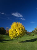 Golden autumn. Golden ash tree in the park royalty free stock image