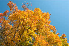 Golden autumn Royalty Free Stock Photos