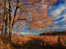 Golden autumn. The golden leaves of birches lit by the last rays of the setting sun Royalty Free Stock Photography