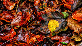 Golden autumn. Golden leaf among brown leaves in autumn forest mess Stock Photo