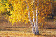 Golden autumn. The leaves are beatuiful in golden autumn Royalty Free Stock Image