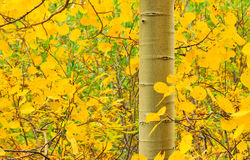Golden Autumn Aspen Tree Royalty Free Stock Photos