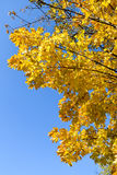 Golden autumn. Autumn maple leaves. Royalty Free Stock Photo