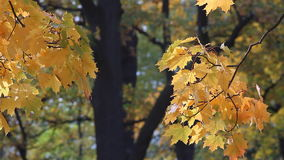 Golden autumn, autumn mood. Maple tree with yellow leaves in autumn park. Sunny day in autumn forest stock video