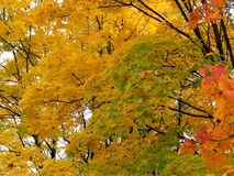 Golden autumn background of yellow maple leaves on a branch Stock Images
