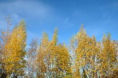 Golden autumn. Beautiful autumn landscape with yellow leaves on high birches over bright blue sky with white clouds on sunny day royalty free stock images