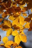 Golden autumn. Beech leaves in the sun Stock Photos