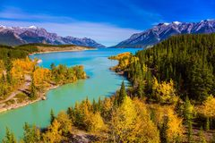 Golden Autumn in the birch and aspen groves on shores of Abraham Lake. Mountain valley in the Rocky Mountains of Canada. Concept. Of active, ecological and stock photo