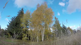 Golden autumn birch grove and wind. Timelapse 4K stock video