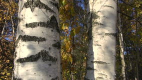 Golden autumn birch tree  in forest and camera rotation. Golden autumn birch tree trunk in forest and camera rotation stock video footage