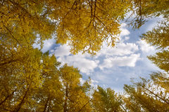Golden autumn of the birch woods. Golden birch forest under the blue sky and white clouds Royalty Free Stock Photography