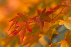 Golden autumn blur background with color maple leaves Stock Photo