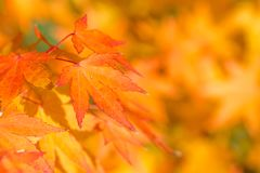 Golden autumn blur background with color maple leaves Royalty Free Stock Photo