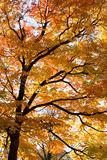 Golden Autumn Branches. Golden foliage of maple tree in autumn Royalty Free Stock Photos