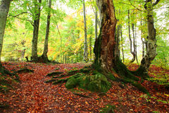 Golden Autumn in the Carpathians Royalty Free Stock Photography