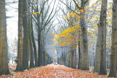 Golden autumn colored leaves on the trees are a beautiful sight for the walking people Stock Images