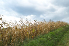 Golden autumn cornfield Stock Images