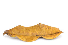 Golden autumn decay leaf. On white background Royalty Free Stock Photo