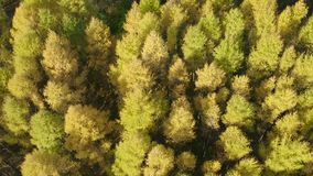 Golden autumn drone view of forest landscape with yellow trees from above stock footage