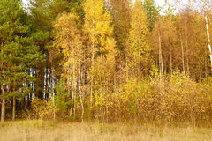 Golden autumn. Royalty Free Stock Image