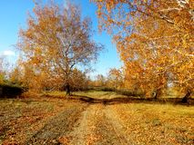 Golden autumn. The fall gilded leaves on birch trees Stock Photography