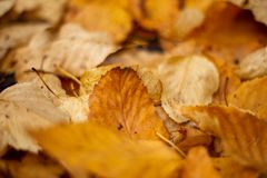 Golden Autumn Fall leaves on the ground in Adelaide South Austra Royalty Free Stock Images