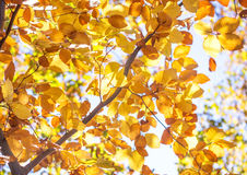 Golden Autumn Foliage beech Royalty Free Stock Photography