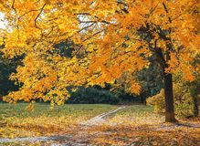 Golden autumn. Footpath in a park or forest under a maple. Autumn Forest Park. Golden autumn. Footpath in a park or forest under a maple. Autumn Forest, Park royalty free stock images