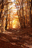 Golden autumn forest Royalty Free Stock Photos