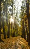 Golden autumn in the forest. Autumn landscape in the setting sun background. Carpet of maple leaves. Golden autumn in the forest. Autumn landscape in the setting royalty free stock images