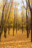 Golden autumn in the forest. Autumn landscape in the setting sun background. Carpet of maple leaves. Golden autumn in the forest. Autumn landscape in the setting stock images