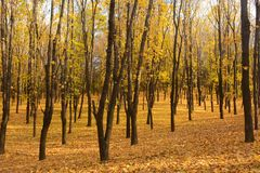 Golden autumn in the forest. Autumn landscape in the setting sun background. Carpet of maple leaves. Golden autumn in the forest. Autumn landscape in the setting stock photography