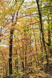 Golden autumn forest with light yellow leaves contrasted against Royalty Free Stock Image