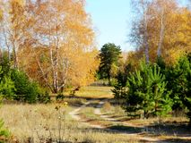 Golden Autumn. In the forest-steppe of the Altai came Royalty Free Stock Photo
