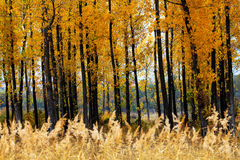 Golden autumn forest Royalty Free Stock Photo