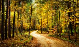 Golden autumn forest with walk path. Scenery colorful forest with yellow trees. Fall. Scenic nature. Golden autumn forest with walk path. Scenery colorful Royalty Free Stock Photos