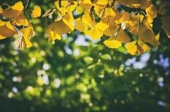Golden Autumn Ginkgo Biloba Royalty Free Stock Photography