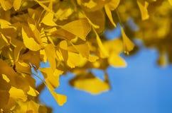 Golden Autumn Ginkgo Biloba. Photo of Golden Autumn Ginkgo Biloba Tree Leaves Stock Photo