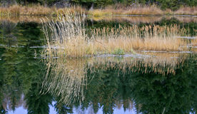 Golden autumn grasses reflect in calm beaver pond Royalty Free Stock Images