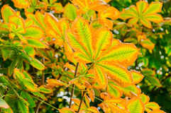 Golden autumn. Horse chestnut in autumn Park. Yellow leaves on the trees. The leaf fall Royalty Free Stock Image
