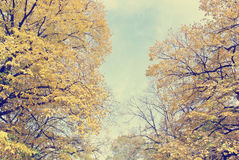 Golden autumn landscape - trees with yellow leaves on a sunny day. Royalty Free Stock Photography