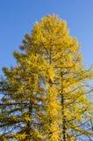 Golden autumn larch tree Stock Photos