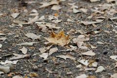 Golden Autumn Leaf on Driveway Stock Photos