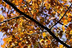 Golden autumn leaves. With branch composed diagonally Stock Photo